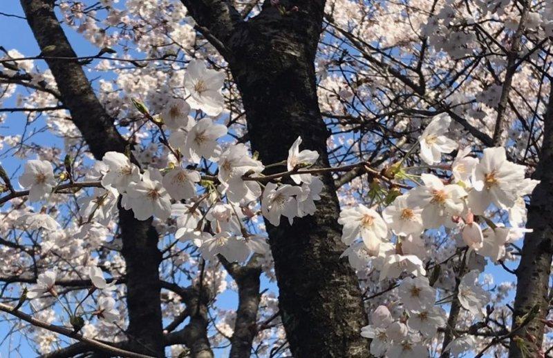 権現堂公園の桜